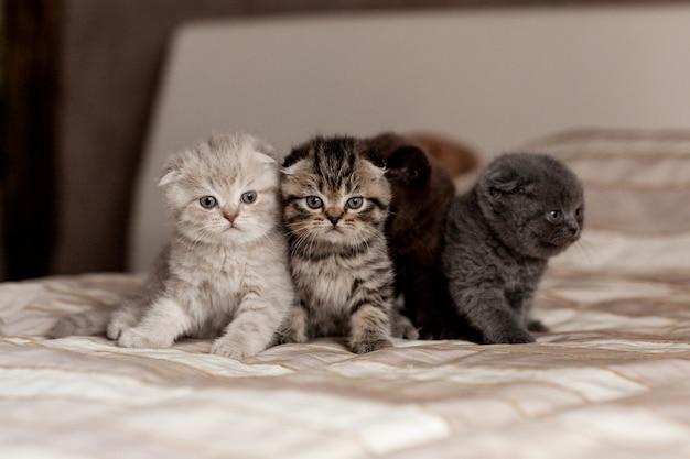 Muy lindos gatitos británicos de hermosos colores se sientan en una tela escocesa