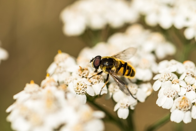 Myathropa florea hoverfly en achillea millefolium