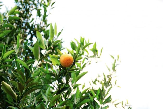 Naranja en árbol con el fondo aislado.