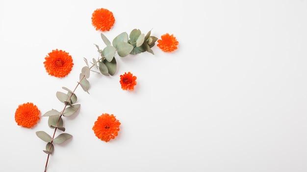 Una naranja caléndula flores y ramita sobre fondo blanco
