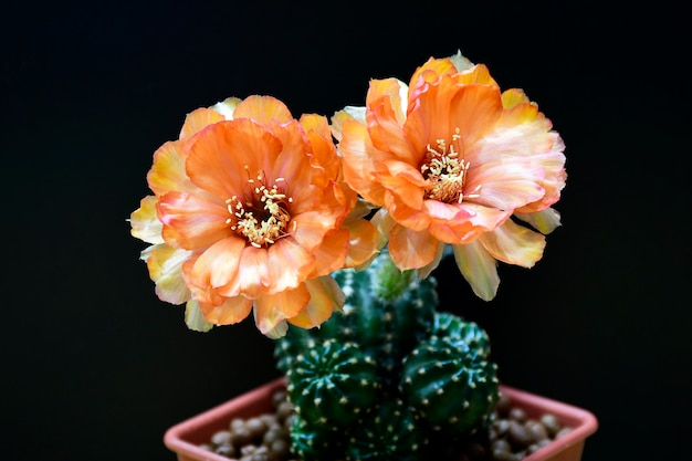 Naranja lobivia spp. flores en negro