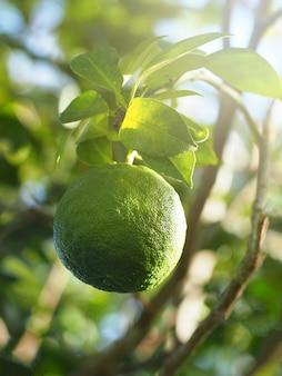Naranja verde en una rama. fuga de sol. enfoque selectivo.
