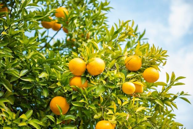 Naranjas frutas con cielo azul