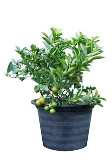 Naranjo (citrus japonica thunb) en maceta de plástico negro aislado sobre fondo blanco.