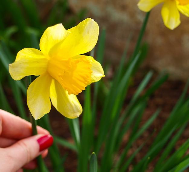 Narciso de cerca en la primavera.