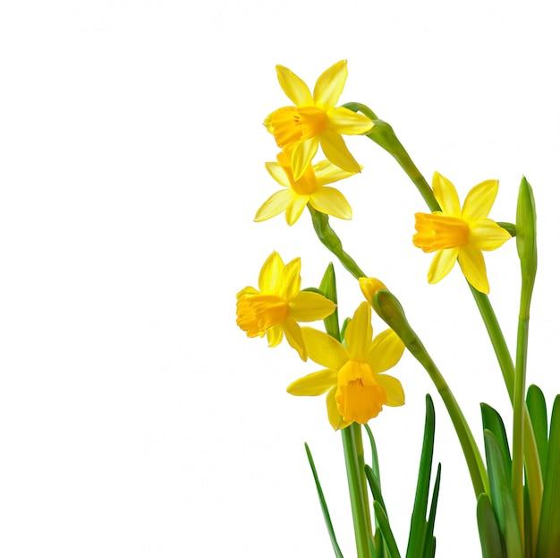 Narciso de flores de primavera aislado en blanco