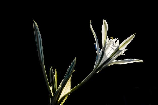 Narciso de mar, pancratium maritimum.