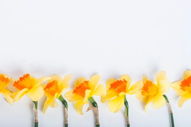 Narcisos amarillos en fila en el fondo blanco