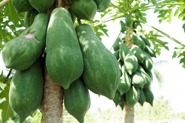 Naturaleza fresca papaya verde en árbol con frutas