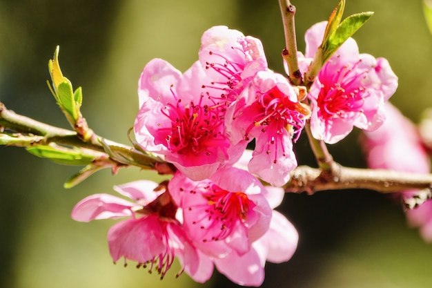Naturaleza de la primavera, flor del melocotón, flores rosadas en ramas en un día soleado, postal hermosa.