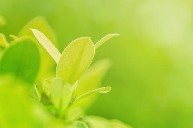 Naturaleza del primer de la hoja verde en jardín bajo luz del sol, fondo natural de la planta verde.