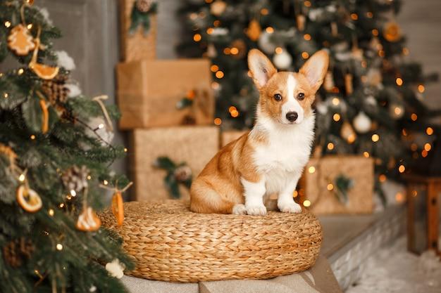 Navidad divertida o perro de año nuevo. un cachorro de corgi se sienta en las decoraciones de navidad.