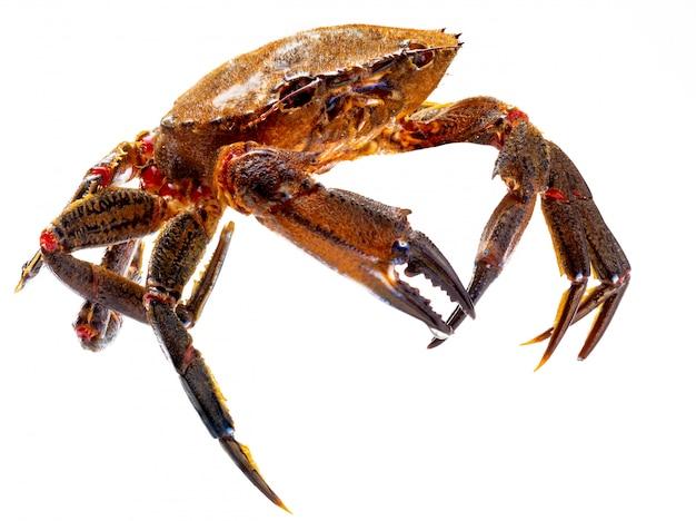 Necoras gallegas (de galicia) en movimiento. deliciosos mariscos del cantábrico y atlántico. cangrejos frescos y vivos aislados.