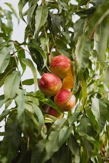 Nectarinas orgánicas dulces en árbol en jardín