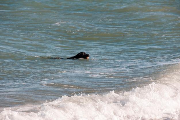 Un negro retriever nadando