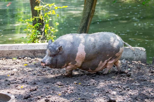 Negro vietnamita con manchas rosadas de cerdo en una granja