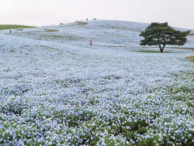 Nemophila, campo de flor en hitachi seaside park, japón.