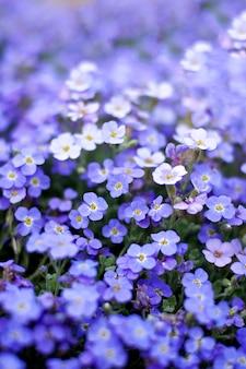 Nemophila flores púrpuras en un campo