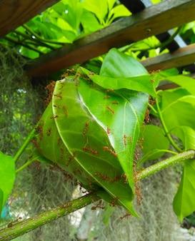 El nido de hormigas con muchas hormigas rojas en el árbol.