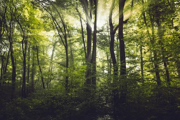 Niebla de la mañana en el bosque