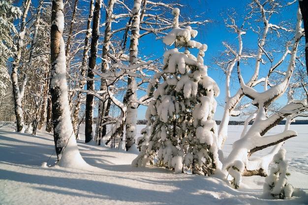 Nieve blanca mullida en los árboles en el bosque