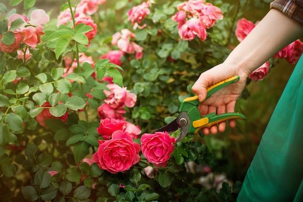 Niña podar el arbusto (rosa) con tijeras de podar en el jardín en sol día de verano