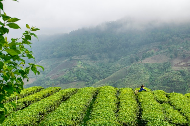 Las niñas están recogiendo hojas de té en las colinas.