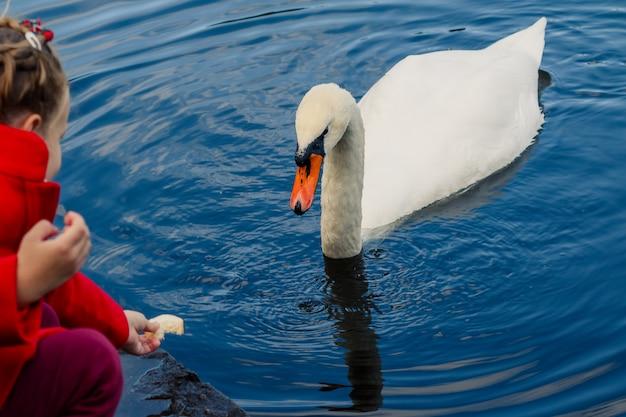 Niño alimentando cisne blanco en el lago