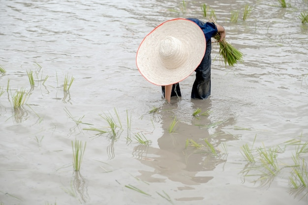 El niño asiático fangoso con sombrero disfruta de plantar arroz en la granja de campo para aprender