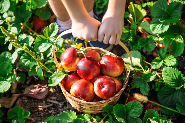 Niño con una manzana. enfoque selectivo jardín.