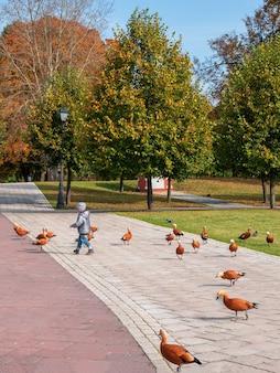 Un niño en movimiento entre los patos rojizos shelducks en el parque de la ciudad en otoño.