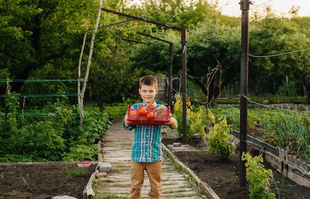 Un niño pequeño se para con una caja entera de vegetales maduros al atardecer en el jardín y sonríe. agricultura, cosecha. producto ecológico.