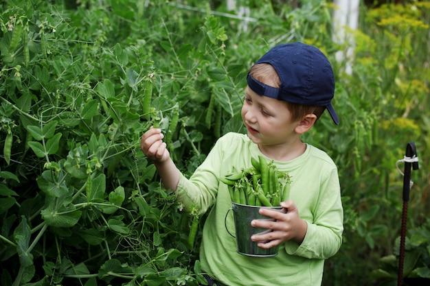 Niño pequeño que escoge los guisantes verdes en el huerto en fondo de la naturaleza