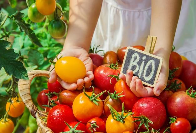 Niño recoge una cosecha de tomates caseros. enfoque selectivo