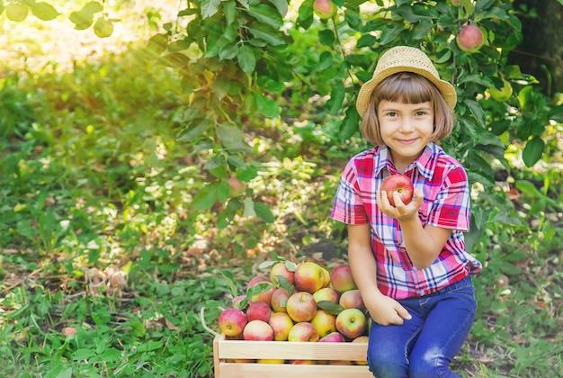 Niño recoge manzanas en el jardín en el jardín.