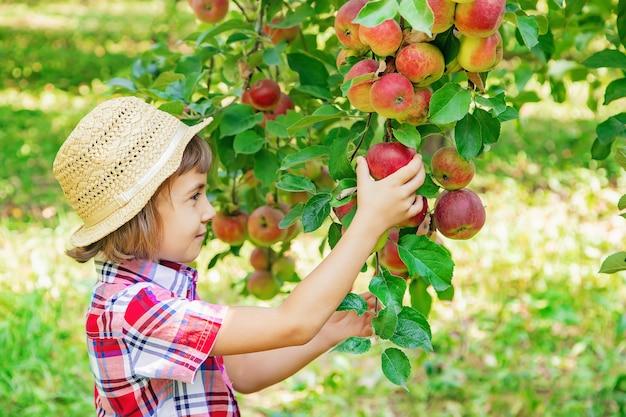 Niño recoge manzanas en el jardín en el jardín