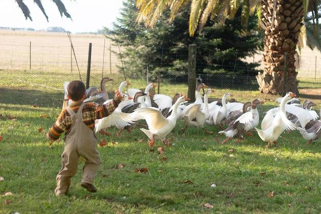 Niño de tiro completo corriendo detrás de los gansos