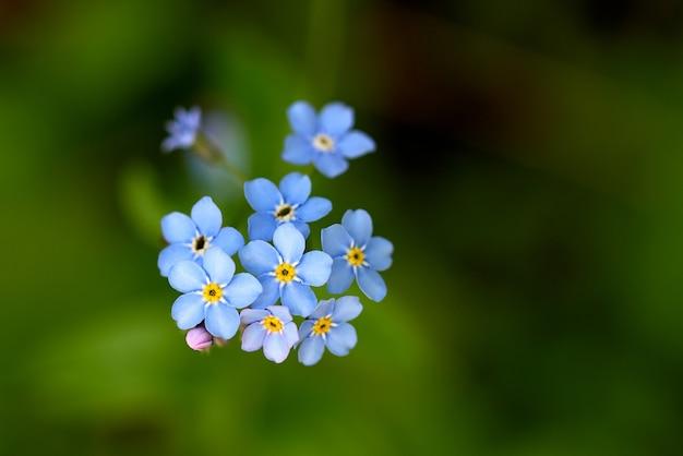 No me olvides, pequeñas flores azules en el bosque.