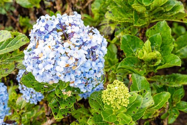 Nombres comunes de hortensias hortensias o hortensias fondo floral natural flores de primavera