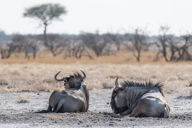 Ñu azul acostado en el monte. wildlife safari en el parque nacional de etosha, famoso destino turístico en namibia, áfrica