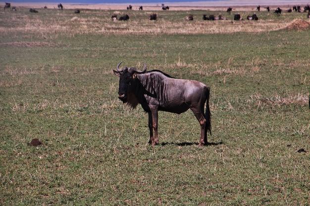 Ñu en safari en kenia y tanzania, áfrica