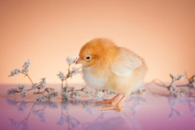 Nueva vida en primavera de pollo pequeño.