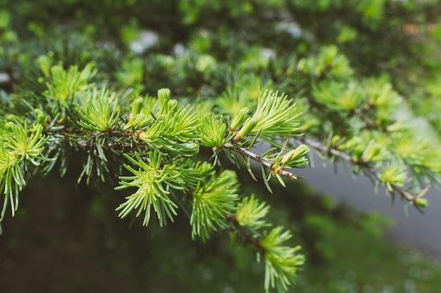 Nuevos brotes jóvenes en ramas de pino.