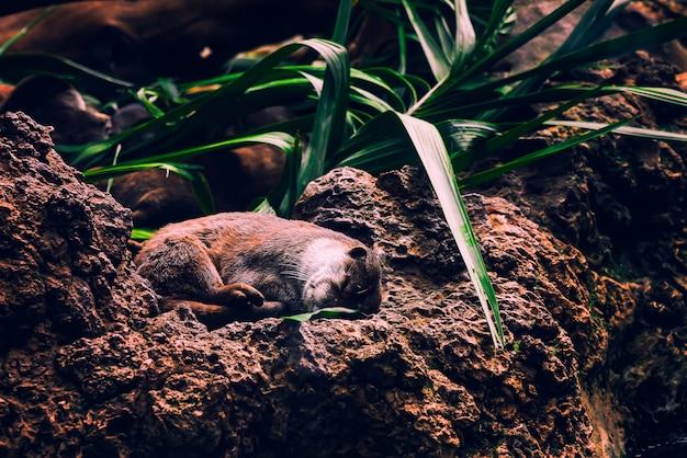 Nutria marrón durmiendo acurrucada en las rocas y debajo de la planta verde