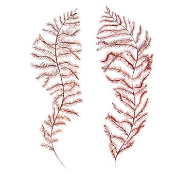 Objeto de vida marina de algas marinas aislado sobre fondo blanco. dibujado a mano acuarela pintada ilustración.