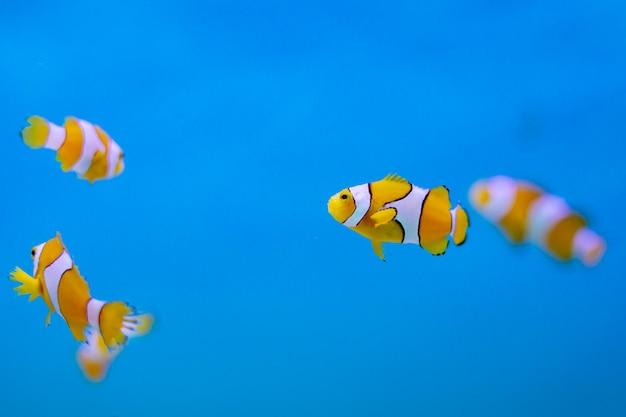 Ocellaris pez payaso en el océano de tailandia