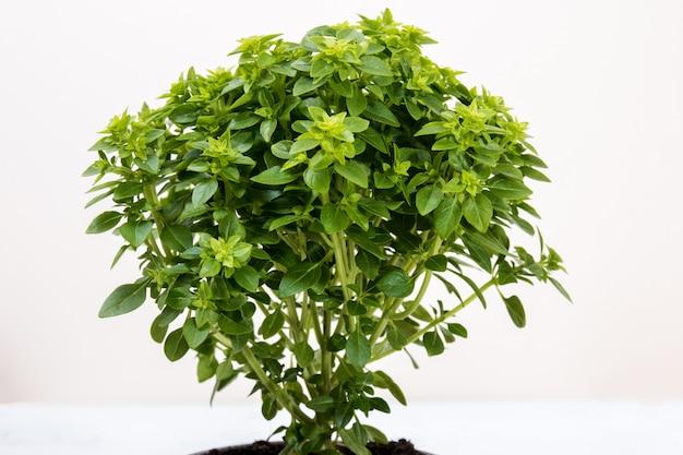 Ocimum mínimo planta