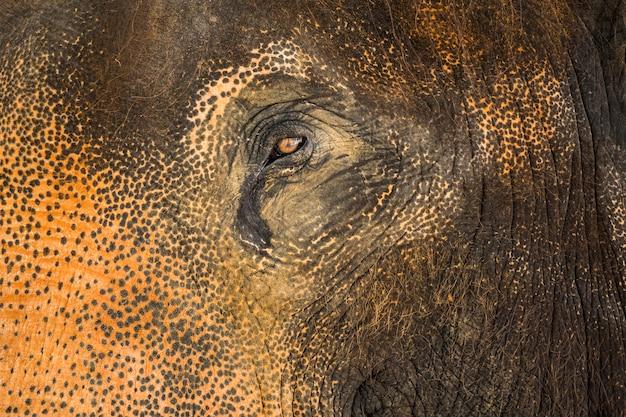 Ojo de elefante asiático y textura de la piel.