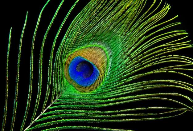 Ojo de pavo real. pluma del pavo real aislada en fondo negro.