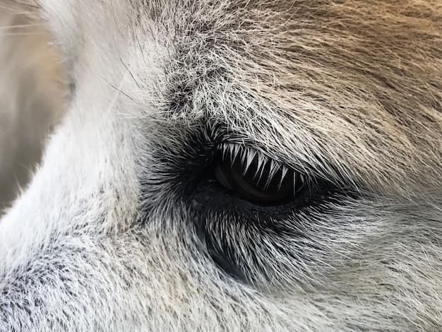 Ojo de perro con problema, muestra lágrimas en el perro, cuando el contacto con la luz solar y el polvo